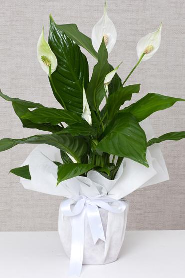 Saksıda Spatilyum (Barış Çiçeği)