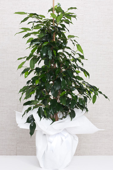 Saksıda Ficus