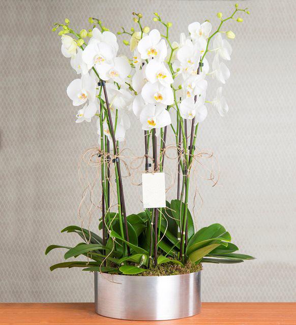 Canlı İTHAL Orkideler Aranjmanı