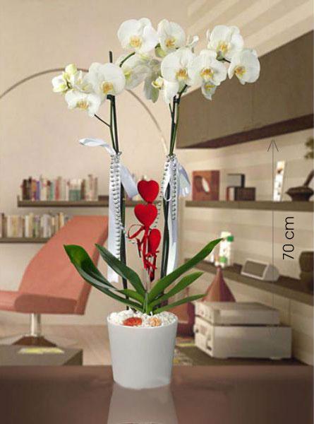 Canlı Phalaenopsis İTHAL Orkide