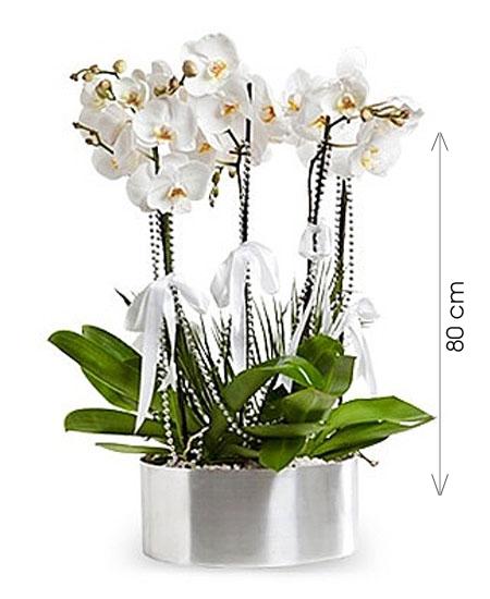 Phalaenopsis İTHAL Orkide Aranjmanı