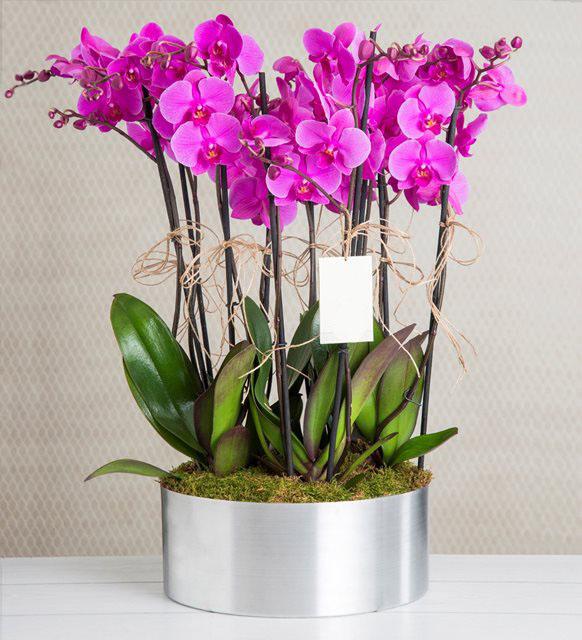 Canlı Orkide Arajmanı