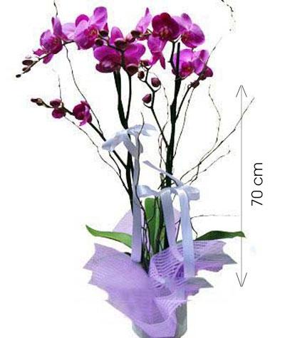Saksıda Çiftdal Orkide
