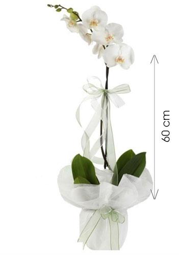 Canlı Tek Dal İTHAL Orkide