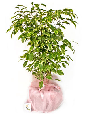 Saksıda Ficus Benjamin