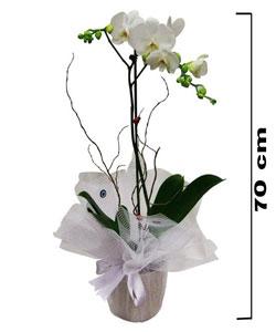 Saksıda Phalaenopsis Orkide