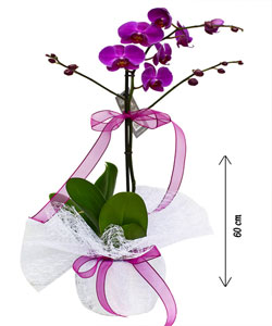 Saksıda Canlı İTHAL Orkide