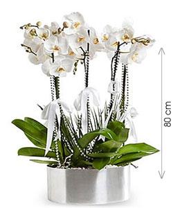 Phalaenopsis Orkide Aranjmanı