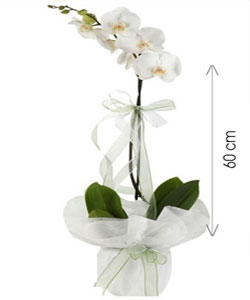 Canlı Tek Dal Orkide