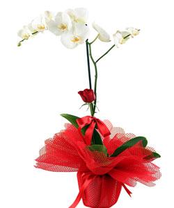 Saksıda Phalaenopsis İTHAL Orkide