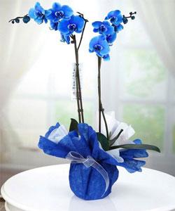 İTHAL Çift Dal Mavi Orkide
